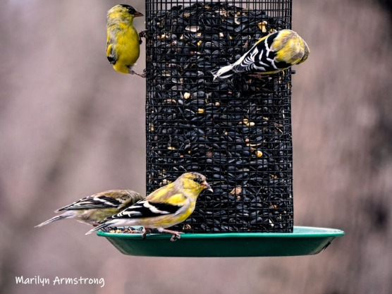 300-goldfinch-flock-04122019_055