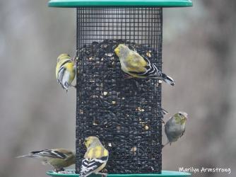 300-goldfinch-flock-04122019_061