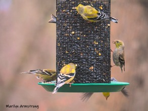 A flock of Goldfinches