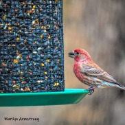300-house-finch-04122019_001