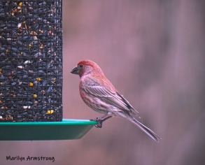 300-house-finch-04122019_003