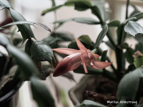 300-pink-cactus-04052019_-011