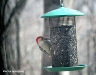 300-red-bellied-woodpecker-04162019_017