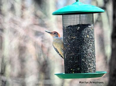 300-red-bellied-woodpecker-04162019_022