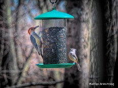 Red-bellied woodpecker and his friend, the Tufted Titmouse