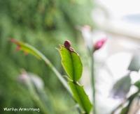 300-red-cactus-bud-04302019_004