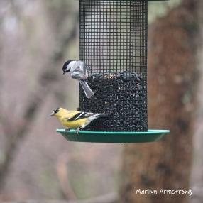 300-square-goldfinch-chickadee-more-new-birds-04082019_031