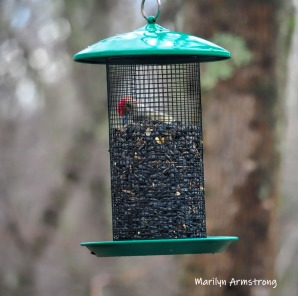 300-square-red-bellied-woodpecker-04102019_035