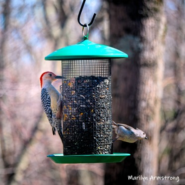 300-square-red-bellied-woodpecker-04162019_004