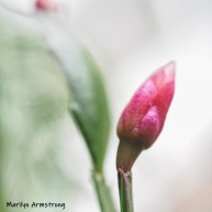 300-square-red-cactus-bud-04302019_003