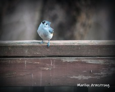 One Tufted-Titmouse sitting on rail