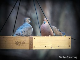 300-two-doves-04022019_209