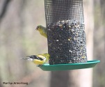 The Goldfinch turning bright yellow for mating season.