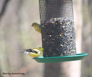 300-two-goldfinch-more-sunny-birds-04252019_043