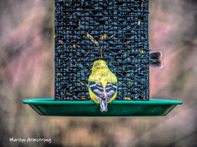 300-wing-patterns-more-goldfinches-04022019_129