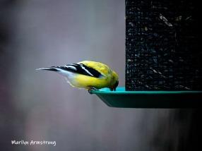 300-yellow-goldfinch-tall-feeder-04022019_156