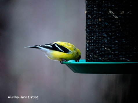 300-yellow-goldfinch-tall-feeder-04022019_156