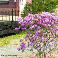 180-Azaleas-Mumford-May-Mar-05072019_308