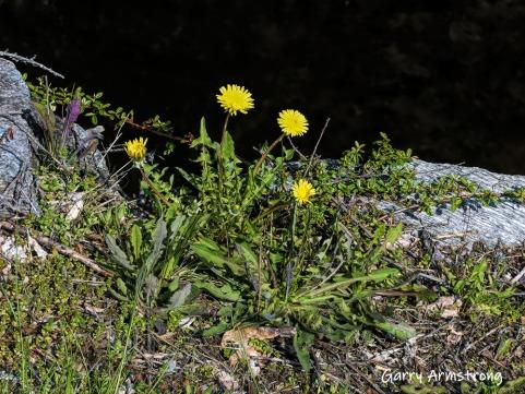 180-Dandelions-Mumford-May-Gar-05072019_277