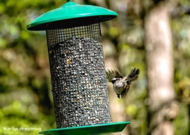 180-Flyaway-Chickadee-Birds-Sunny-Saturday-05112019_007