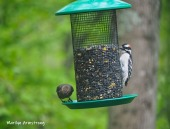 One Cowbird and a Hairy Woodpecker