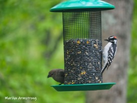 Cowbird with Hairy Woodpecker - sharing!