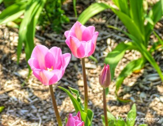 180-Pink-Tulips-Mumford-May-Mar-05072019_319