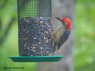 180-red-bellied-woodpecker-2-05192019_110