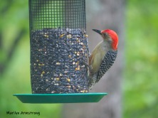 180-red-bellied-woodpecker-2-05192019_110