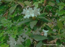 180-Rhododendrons-05192019_107