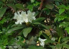 180-Rhododendrons-05192019_108