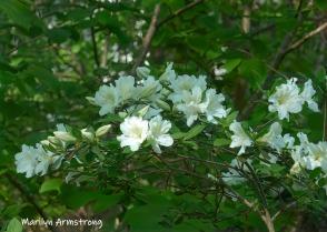 180-White-Azalea-05192019_118