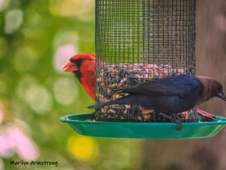 Cardinal and Cowbird. The Cowbirds are only afraid of the big woodpecker -- ever since he pecked him in the head!
