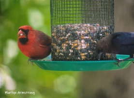 Cowbird and Cardinal -- sharing the feeder
