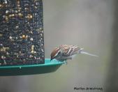 300-carolina-wren-may-birds-one-04282019_031