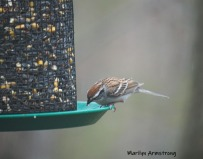 300-carolina-wren-may-birds-one-04282019_031