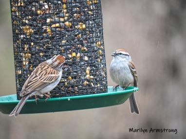 00-carolina-wrens-may-birds-one-04282019_035