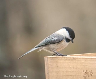 Black-capped Chickadee - our Massachusetts official state bird