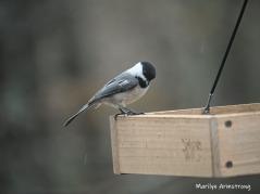 300-chickadee-may-birds-one-04282019_037