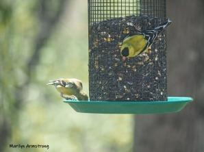 300-closeup-goldfinches-05072019_015