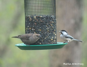 Mrs. Cowbird and Mr. Chickadee, sharing a light snack