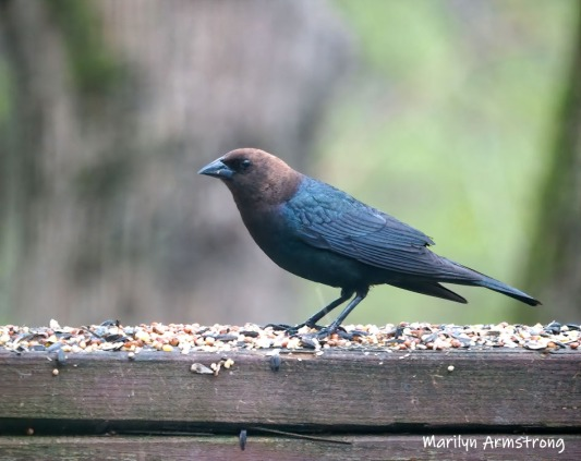 300-Cowbirds--05052019_135-crop-stabilize