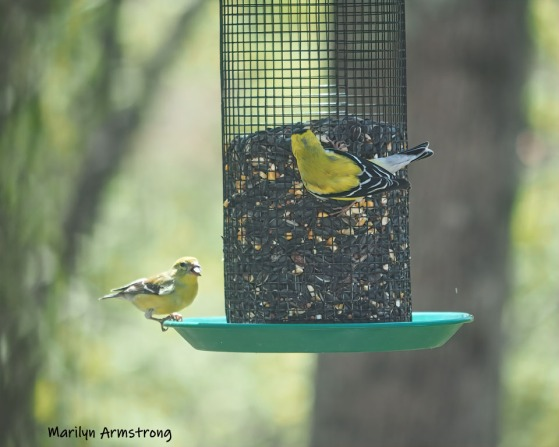 300-detailed-goldfinches-05072019_017