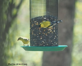 300-goldfinches-05072019_014