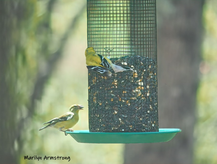 300-goldfinches-05072019_018