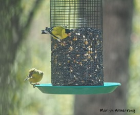 300-goldfinches-05072019_019