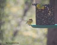 300-goldfinches-05072019_021