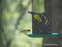 300-goldfinches-05072019_024