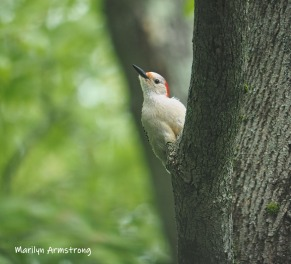 300-in-tree-red-belly-woodpecker-05192019_053