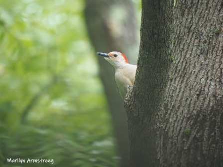 300-in-tree-red-belly-woodpecker-05192019_058
